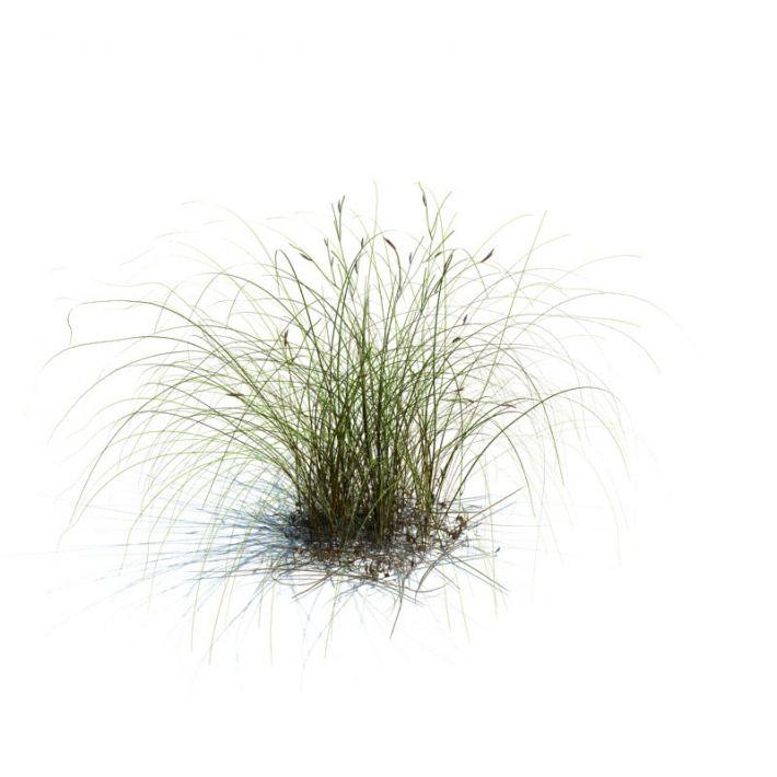 Carex aurea 78 AM126 Archmodels