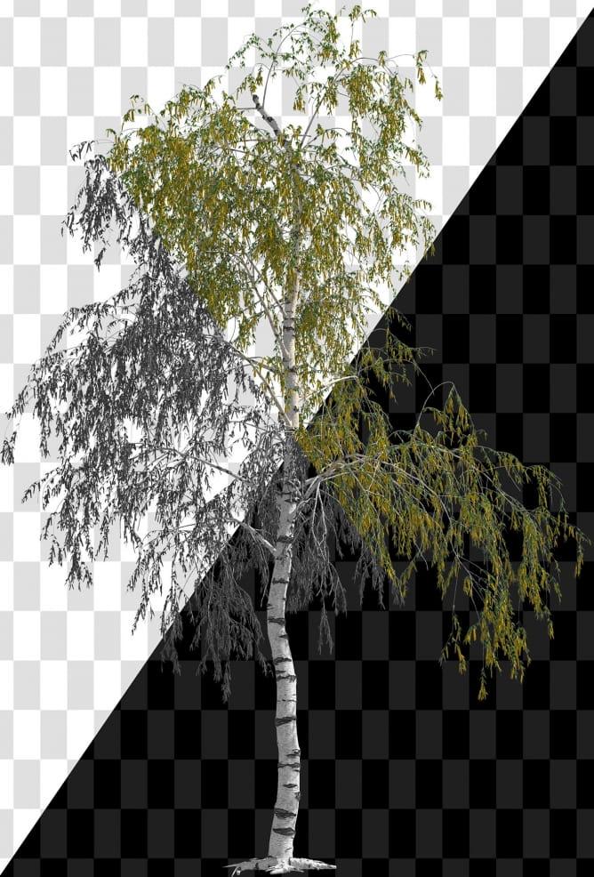 Birch_001